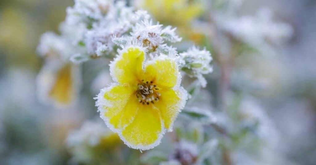 pflanzen_frost_kälte_eisheilige