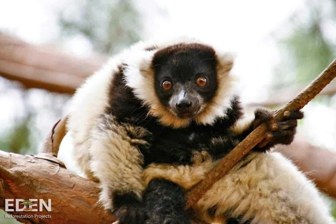 madagaskar_lemur_lebensraum_erhaltung_projekt